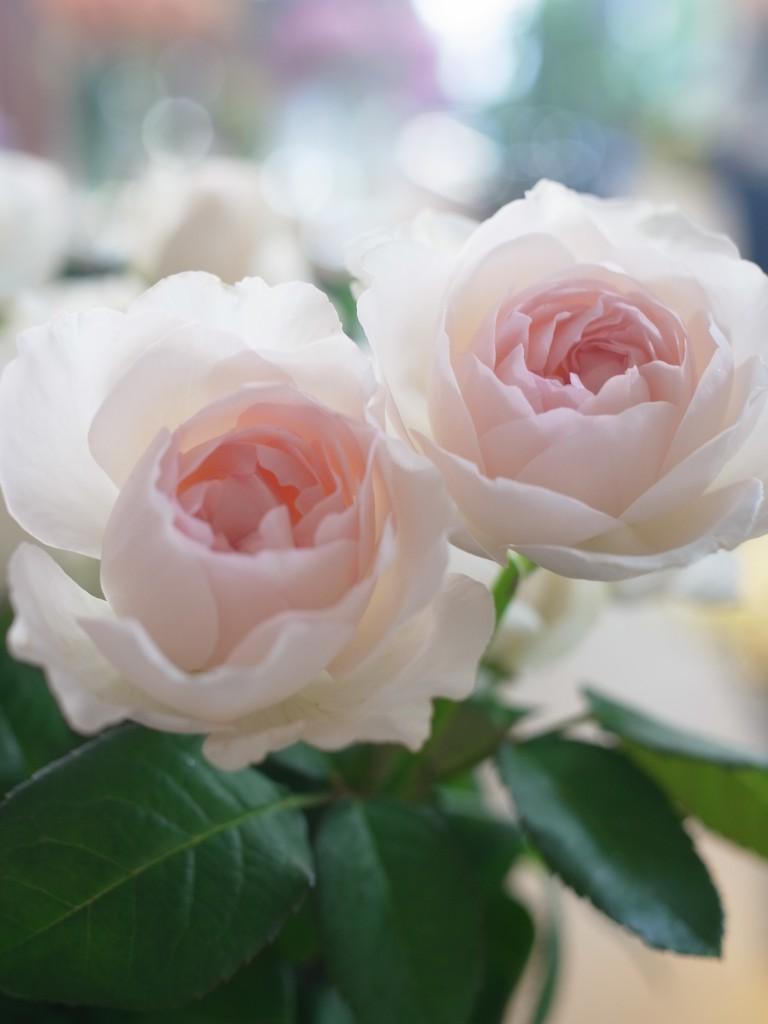 薔薇 ウイッシング