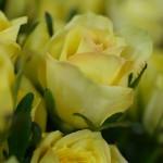 バラ M-プレミアムレモン