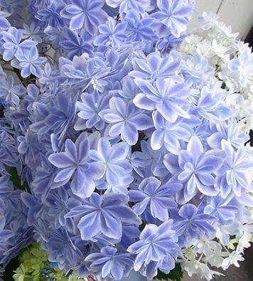 アジサイ 万華鏡ブルー
