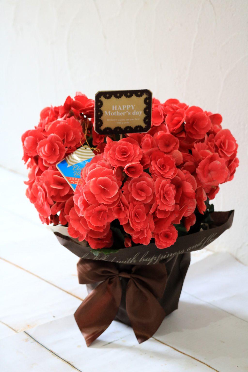 母の日 花鉢 バラ咲きベゴニア ボリアスダーク