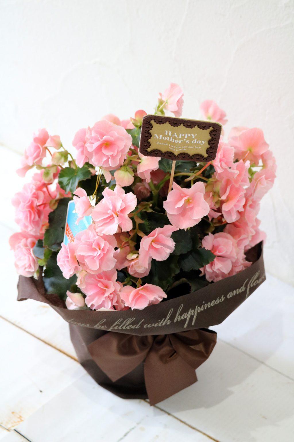 母の日 花鉢 バラ咲きベゴニア ロネ