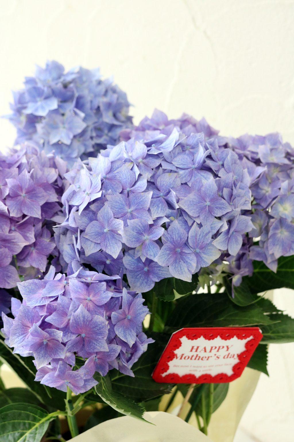 母の日 花鉢 アジサイ 星がすりブルー