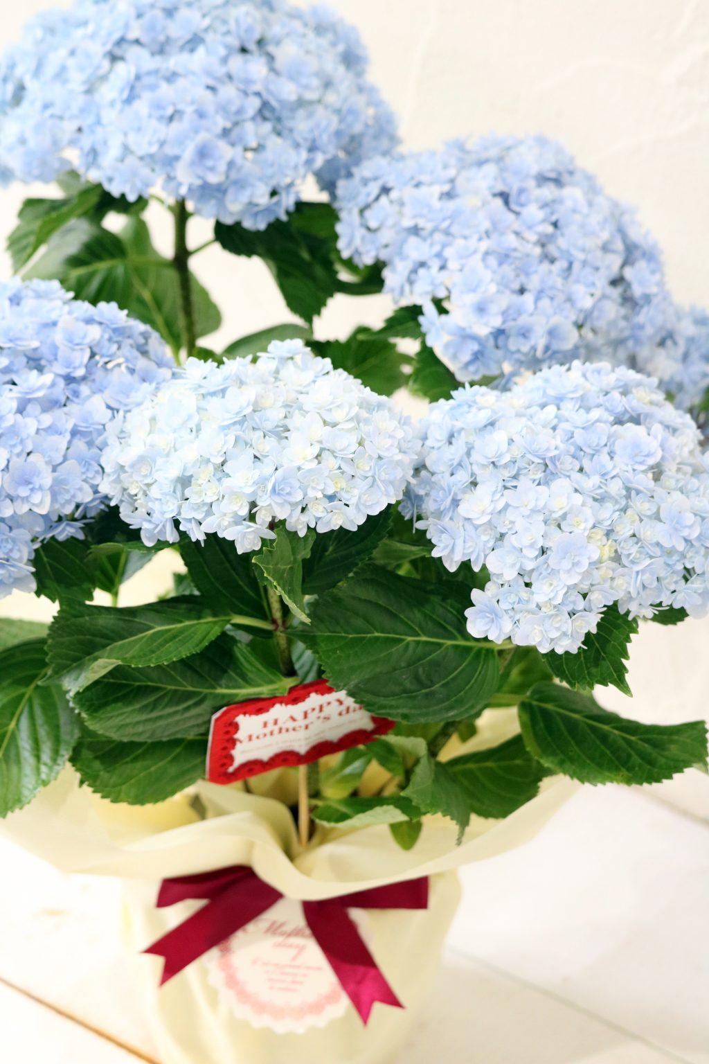 母の日 花鉢 アジサイ てまりてまりブルー