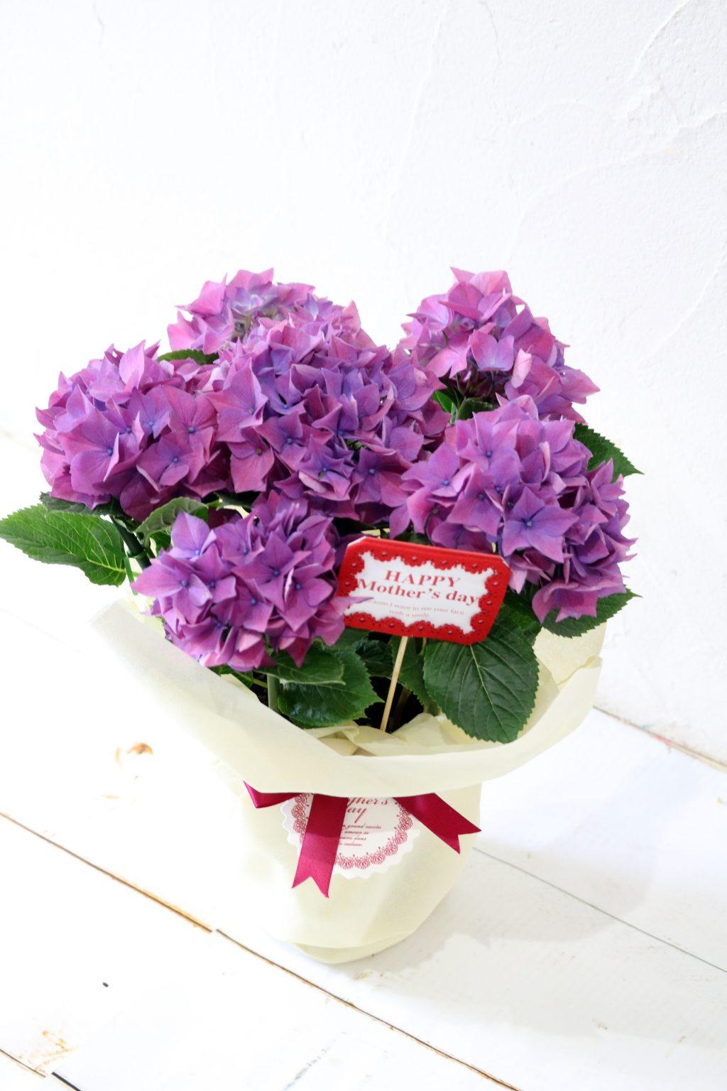 母の日 花鉢 アジサイ パープルスプレンダー