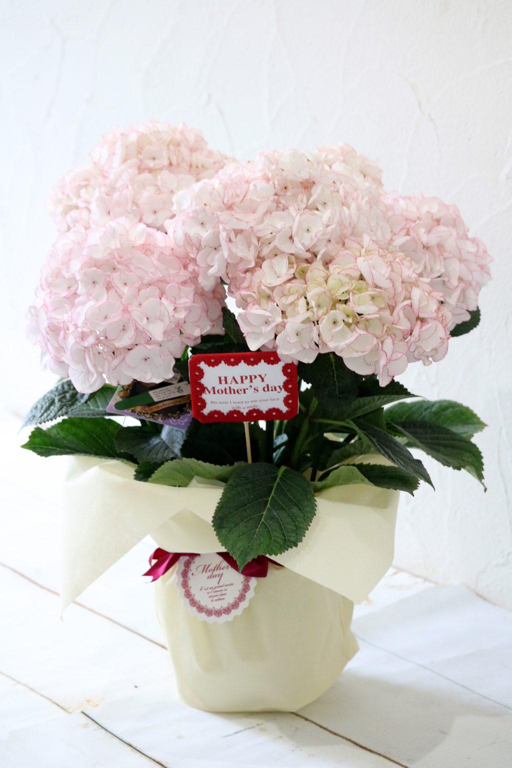 母の日 花鉢 アジサイ マシェリ