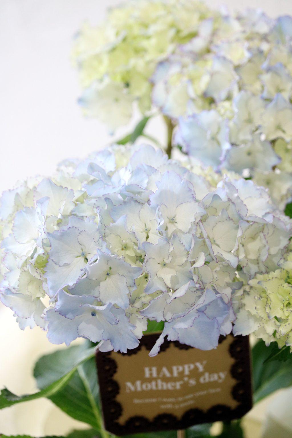 母の日 花鉢 アジサイ ホワイトレオン