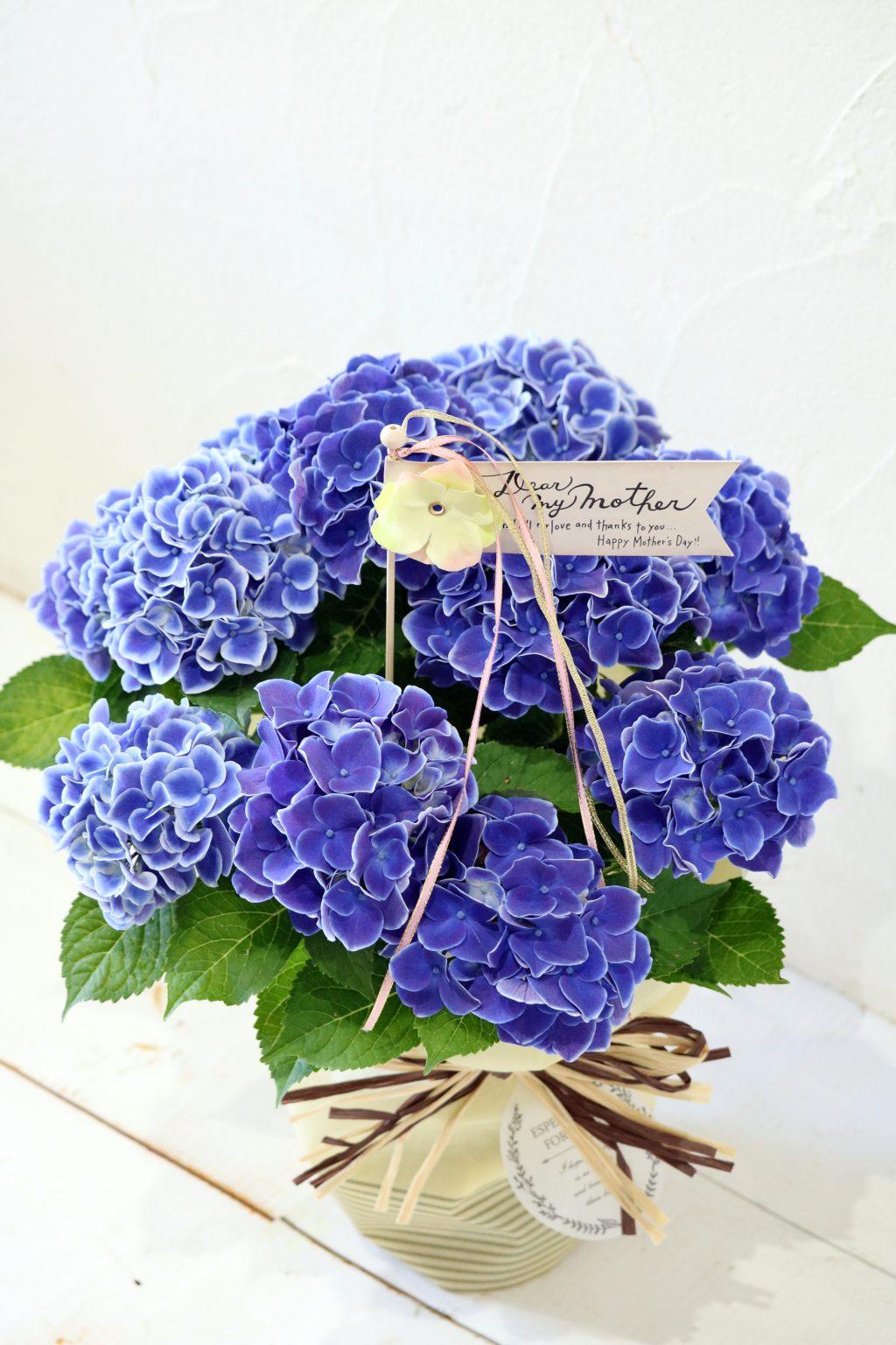 母の日 花鉢 アジサイ チボリブルー