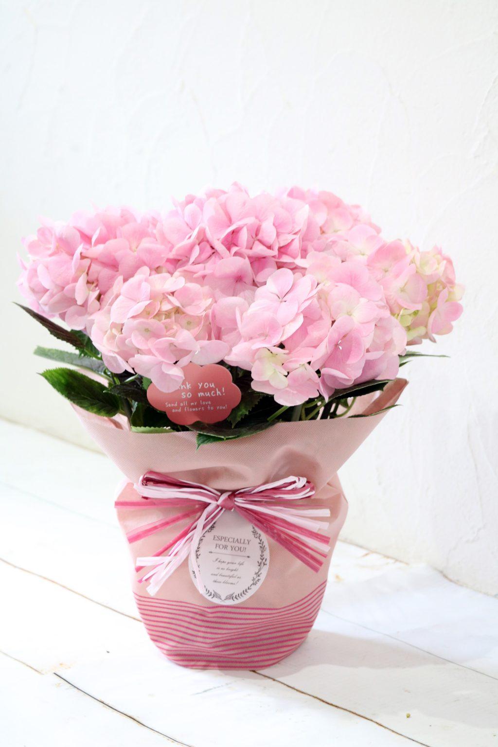 母の日 花鉢 アジサイ ピンクダイアモンド