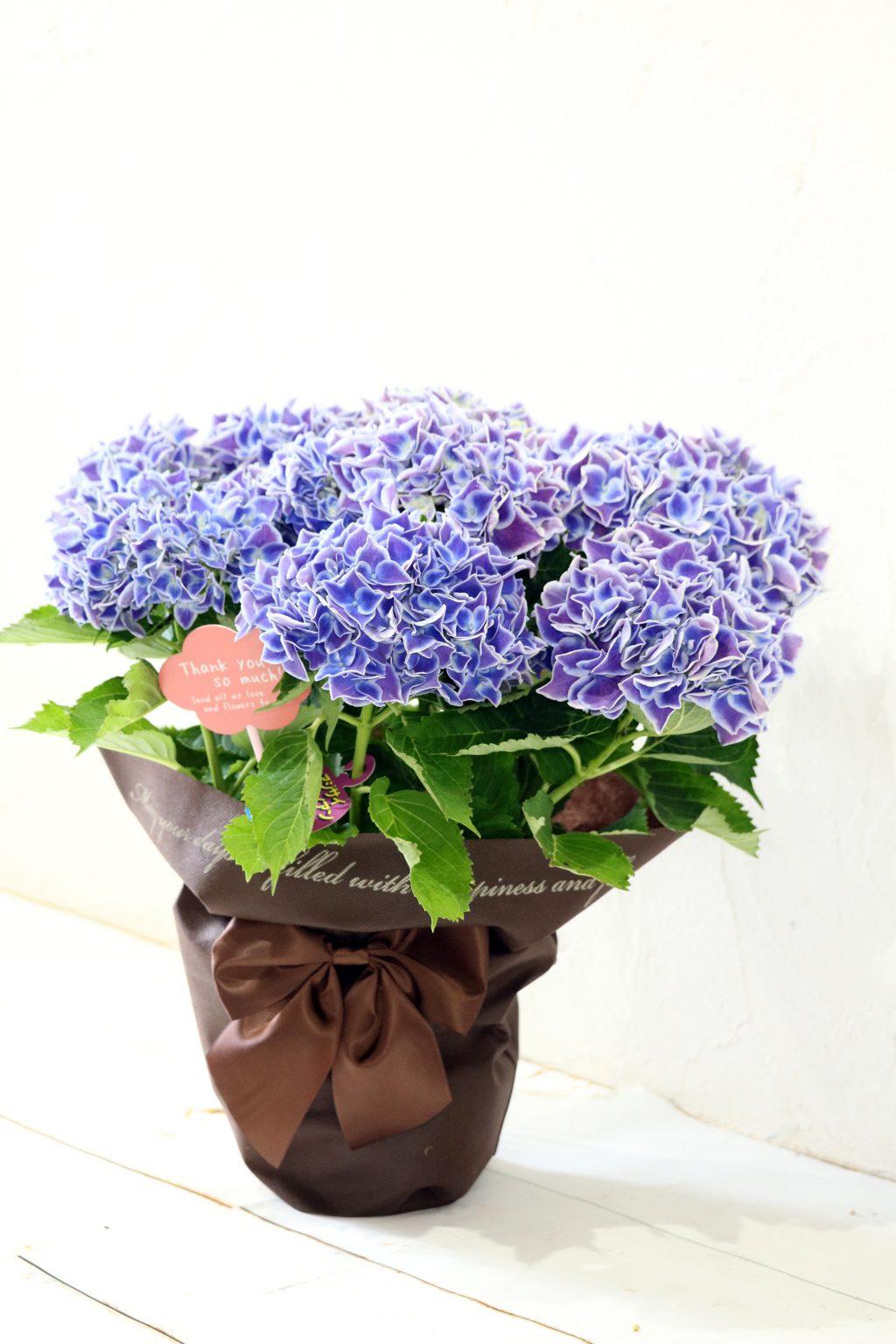 母の日 花鉢 アジサイ ハワイアンジュピター