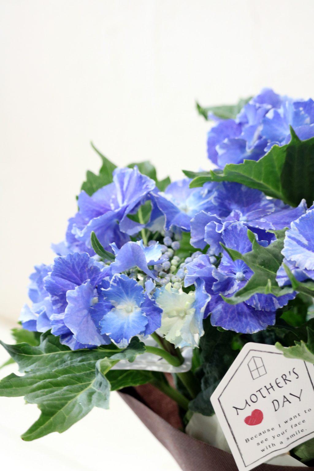 母の日 花鉢 アジサイ スターリットスカイ