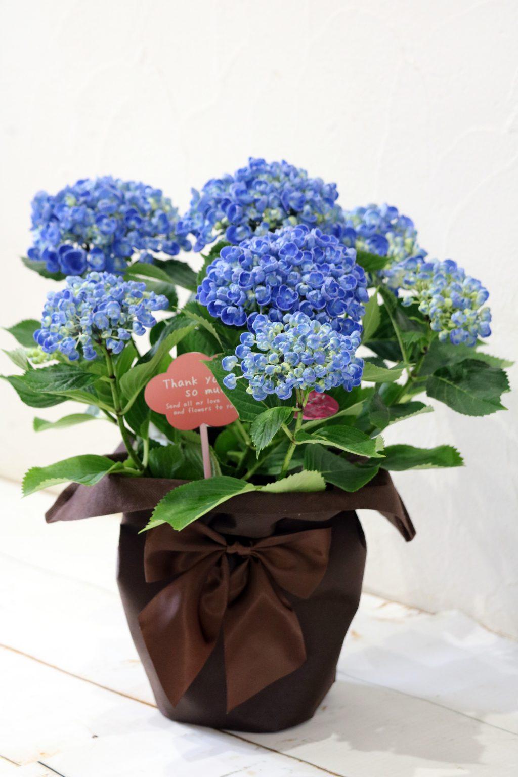 母の日 花鉢 アジサイ ポップコーンブルー