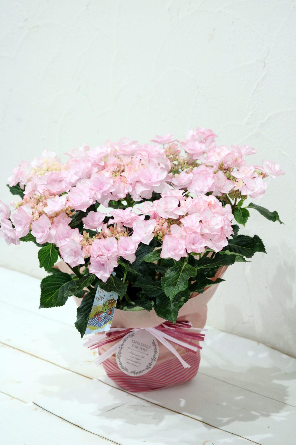 母の日 花鉢 アジサイ ピンキーリング
