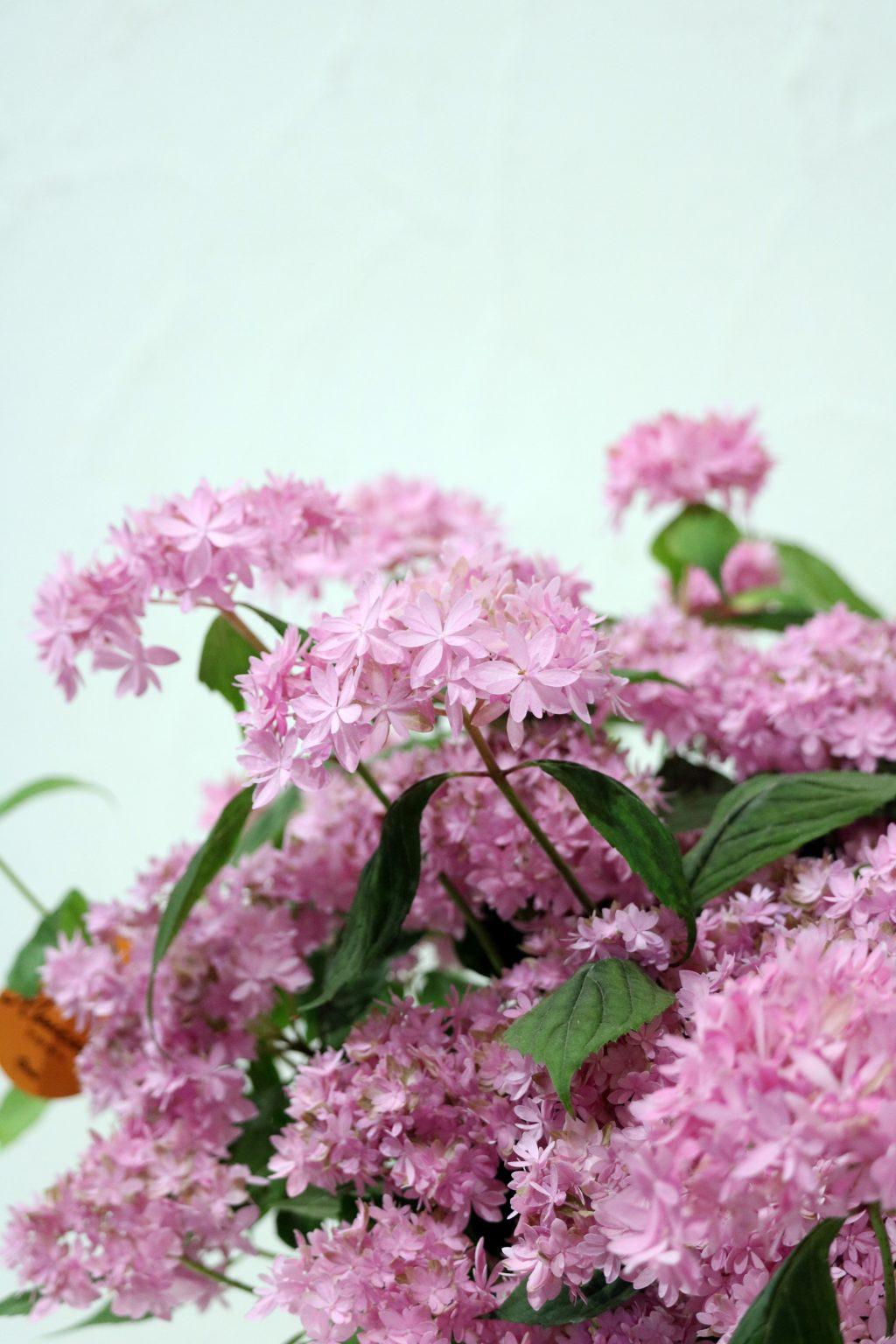 母の日 花鉢 アジサイ マルルー