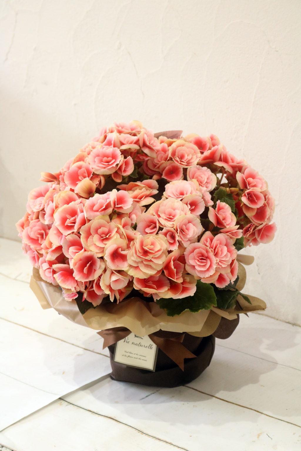 母の日 花鉢 バラ咲きベゴニア ボリアス