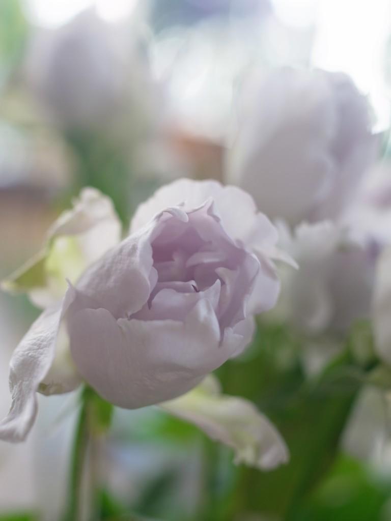 薔薇 ルシファー