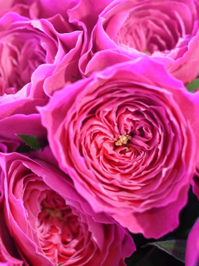 薔薇「友禅」