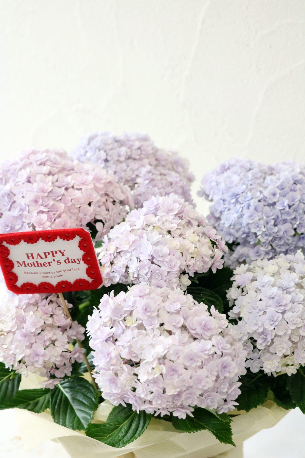 母の日 花鉢 アジサイ てまりてまりピンク