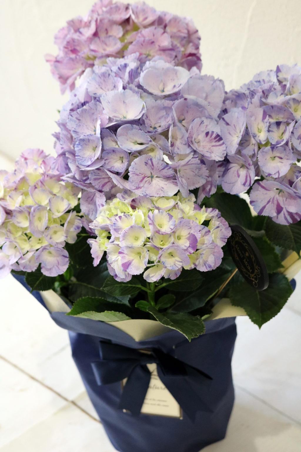 母の日 花鉢 アジサイ 舞姫パープル
