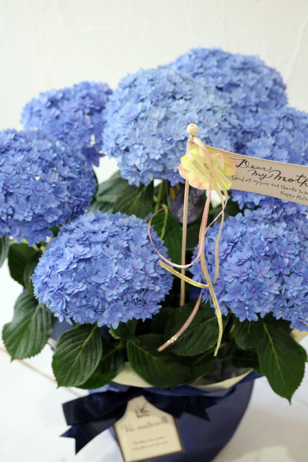 母の日 花鉢 アジサイ ごきげんようブルー