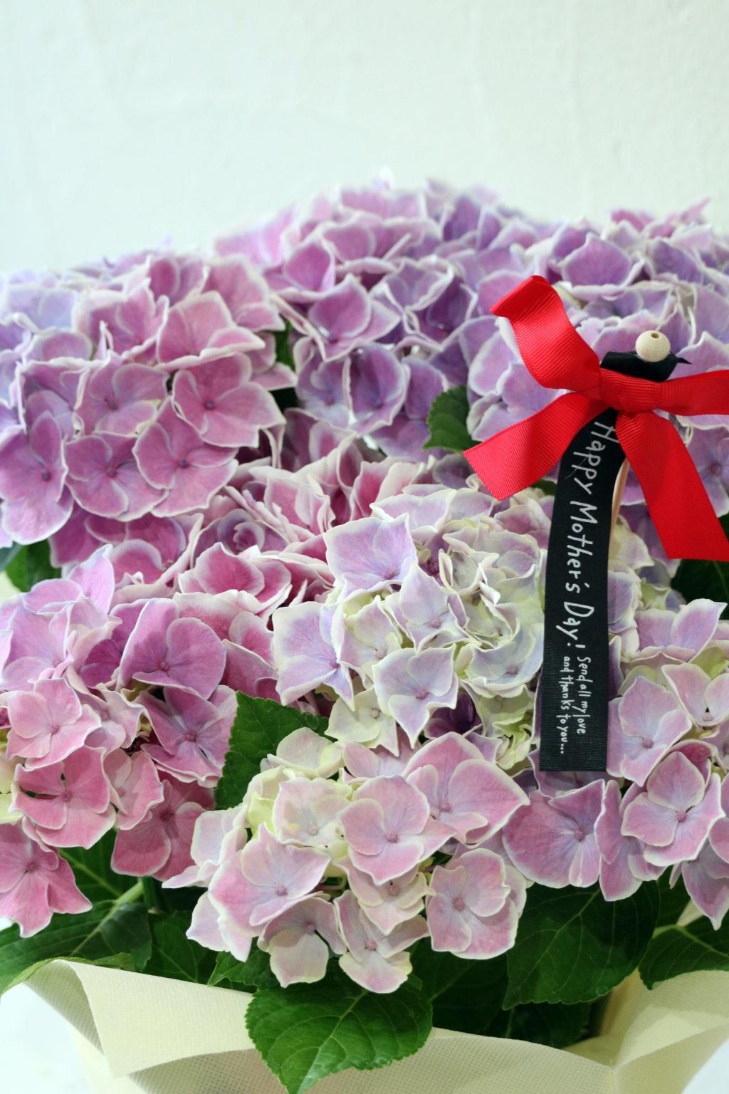 母の日 花鉢 アジサイ ピルニッツ