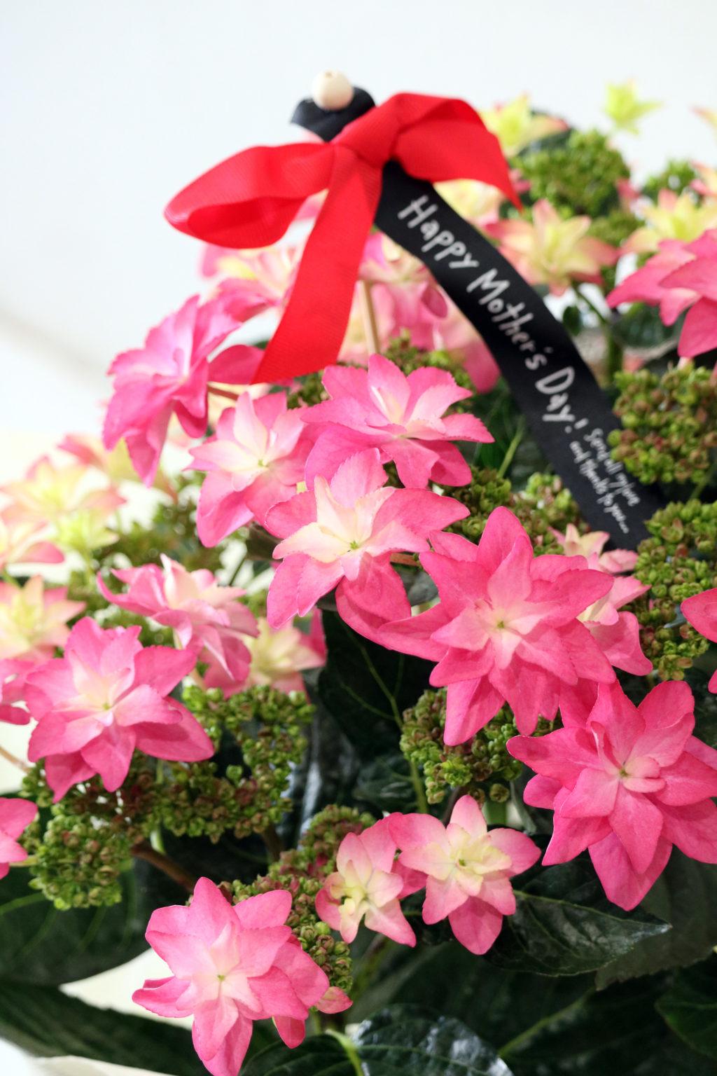 母の日 花鉢 アジサイ ダンスパーティーハッピー