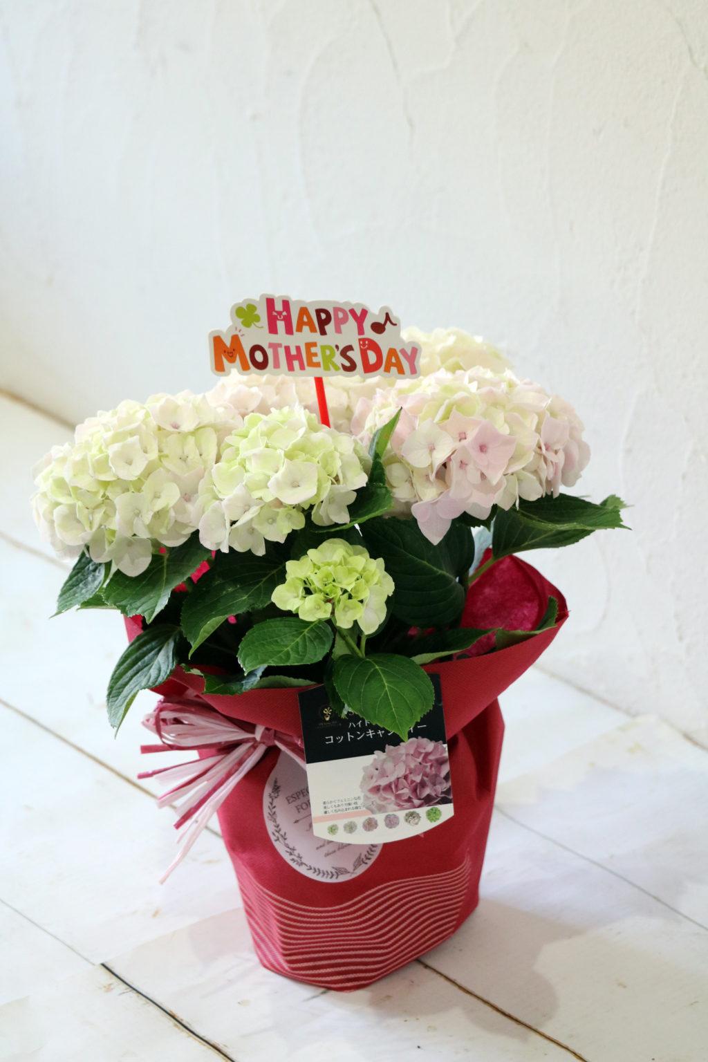 母の日 花鉢 アジサイ コットンキャンディー