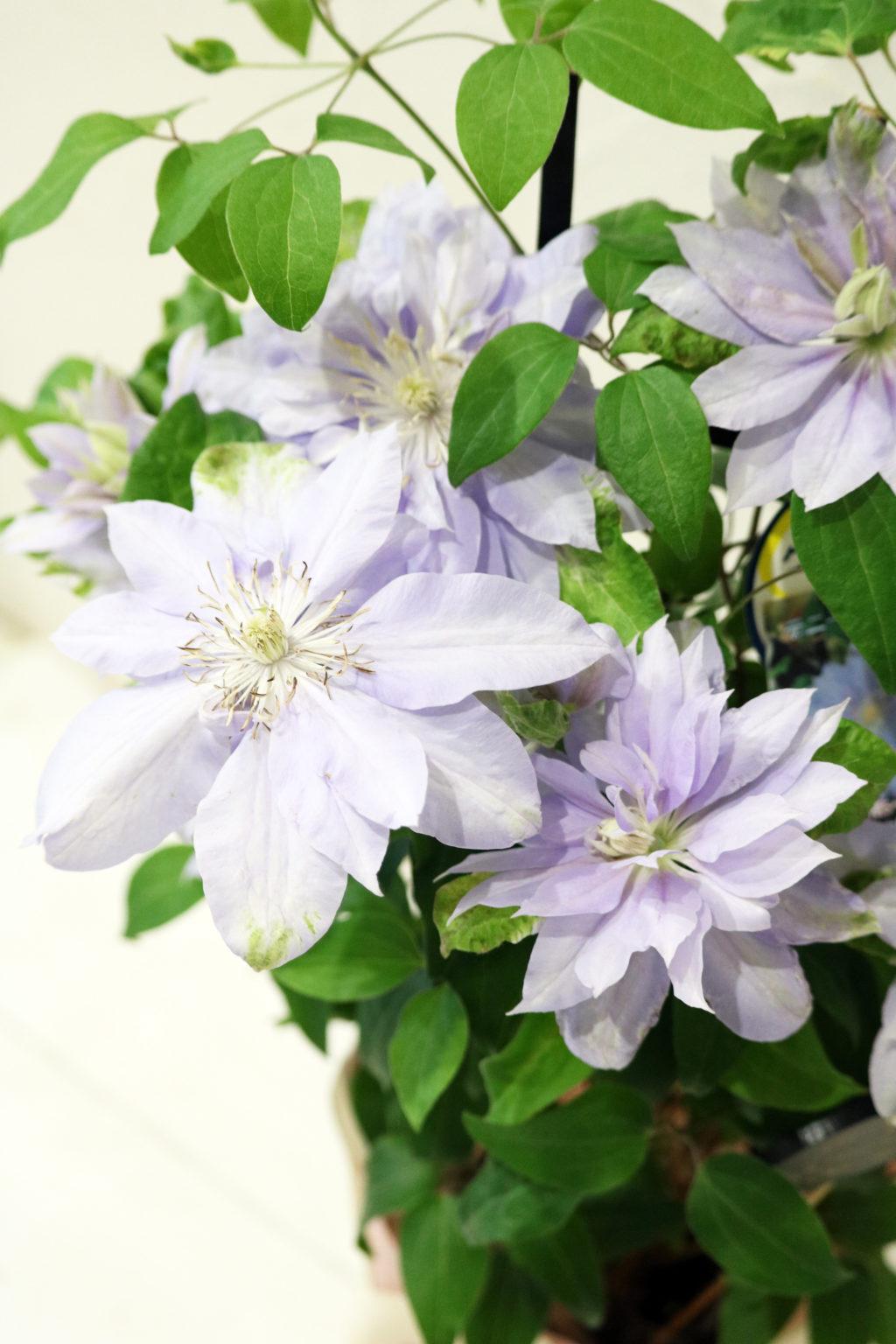 母の日 花鉢 クレマチス紫