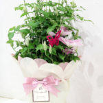 母の日 花鉢 クレマチスピンク